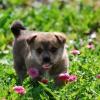 Блошиний дерматит у собак: діагностика та лікування