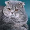 Фото забарвлень шотландських висловухих кішок