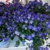 Кімнатний квітка наречений і наречена або дзвіночок равнолістний